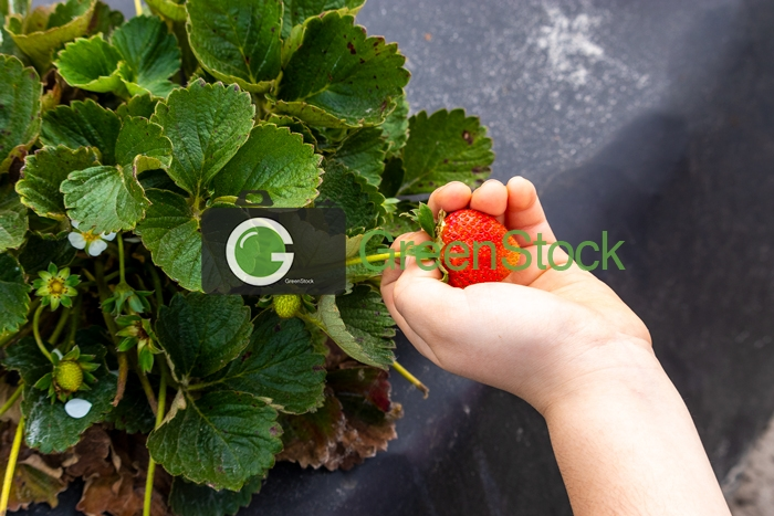 Strawberry pick 2