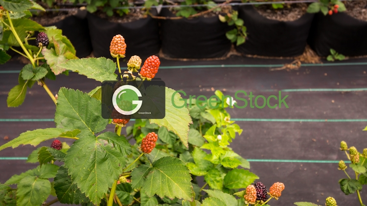 Unripe blackberries