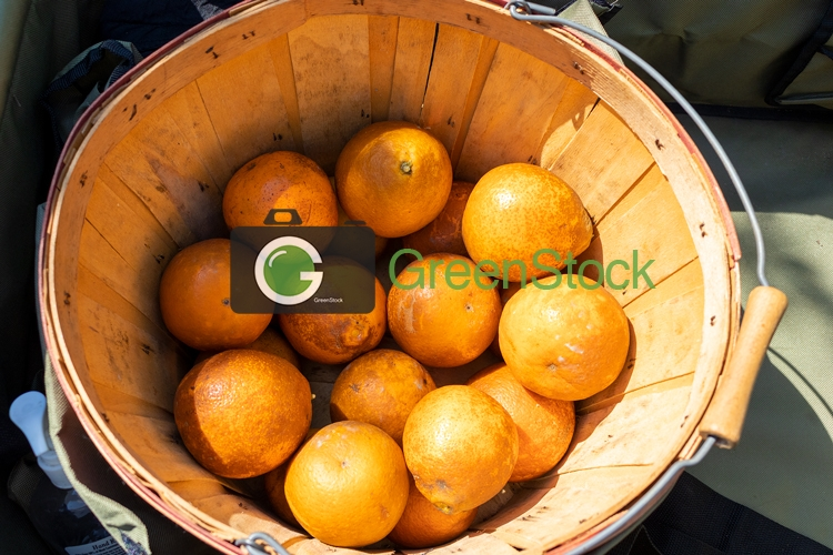 Picked oranges in a bucket
