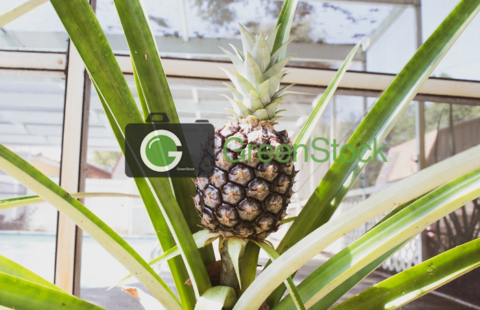 Pineapple and the plant
