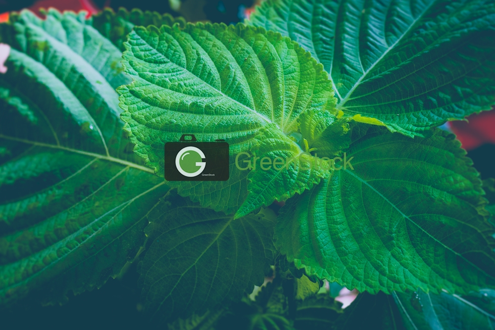 Sesame leaves