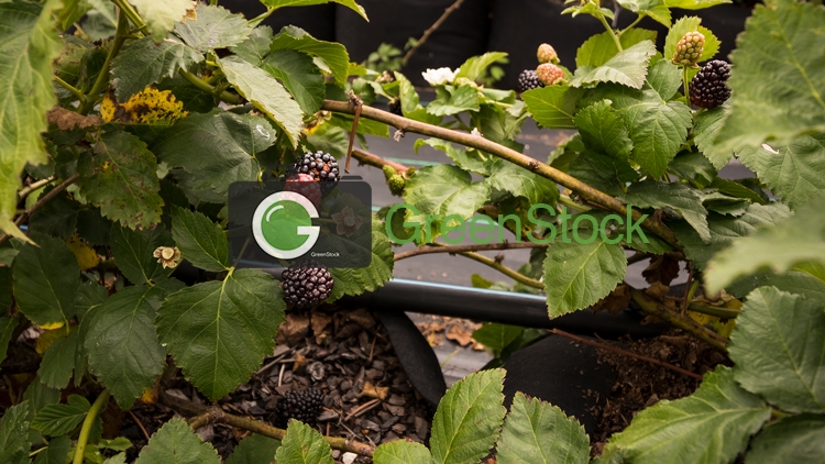 Blackberries on tree