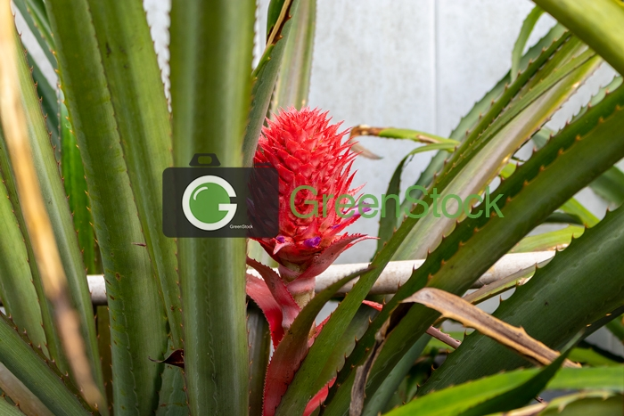 Brazilian red pineapple 2